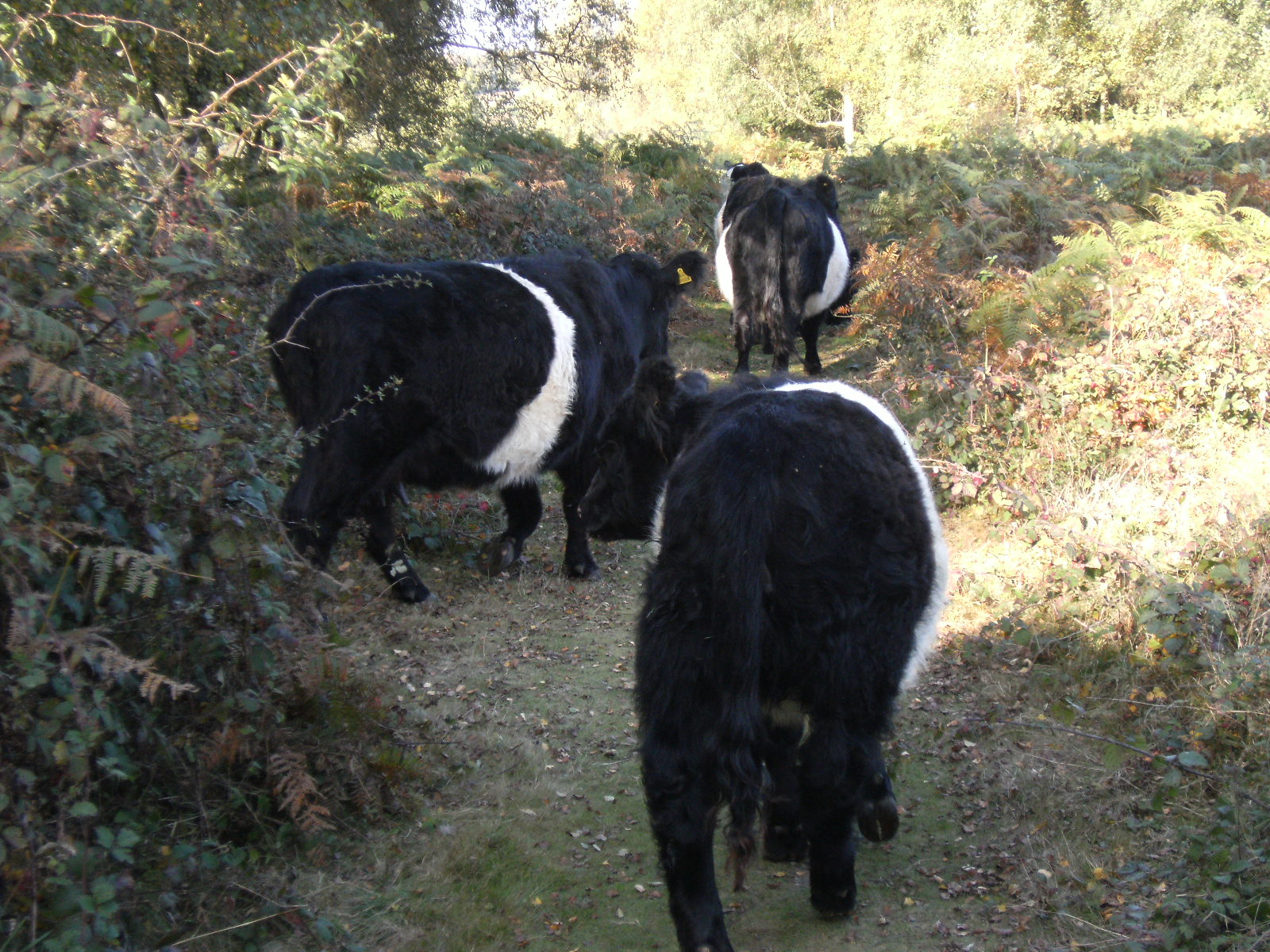 DSCF2052 Belted Galloways on Headley Heath
