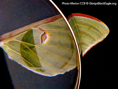 Look at the scales and fuzziness of the luna moth wing through a magnifying lens.