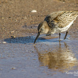Чернозобик (Calidris alpina)