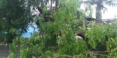 Hujan Deras dan Angin Kencang, Sebab kan Pohon Tumbang