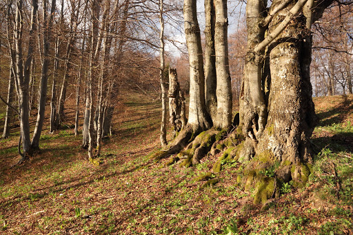 Buky na južnom svahu Borišova