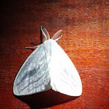 Lymantriidae : Caviria vinasia Schaus, 1910. Valle de las Minas, Hornito, cordillère de Talamanca, 1100 m (Chiriquí, Panamá), 27 octobre 2014. Photo : J.-M. Gayman