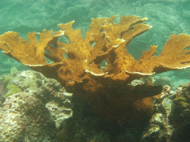 More Elkhorn Coral. St Thomas Snorkeling.