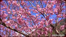 草坪頭玉山觀光茶園-昭和櫻綻放美景
