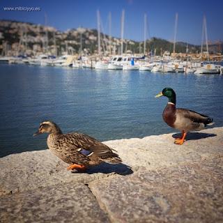 Patos Pantalan Puerto de Andratx