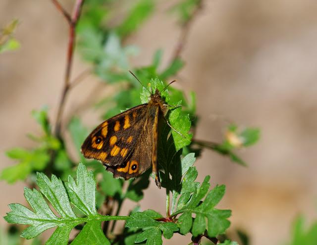 Pararge aegeria aegeria (L., 1758), mâle. Les Hautes-Courennes (539 m), Saint-Martin-de-Castillon (Vaucluse), 7 mai 2014. Photo : J.-M. Gayman