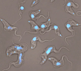 Trypanosoma brucei. Nuclei stained with DAPI (Blue). Catherine, Mensa-Wilmot Lab