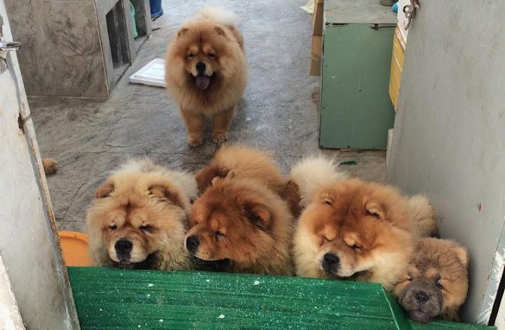 Bán chó Chow Chow giá bao nhiêu? Mua chó Chow Chow Hà Nội và TPHCM