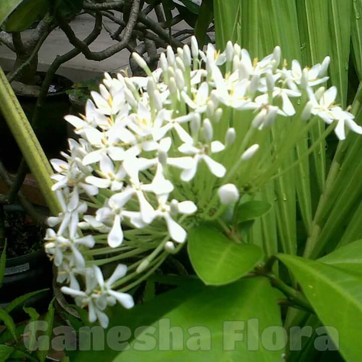 Soka Putih Ganesha Flora Bali