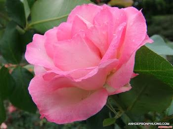 Tải hình ảnh hoa hồng đẹp tặng người yêu thương