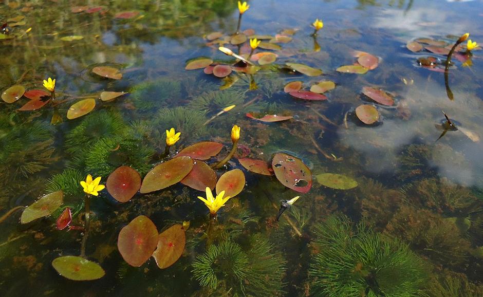 Кабомба водная (Кабомба обыкновенная) (Cabomba aquatica)