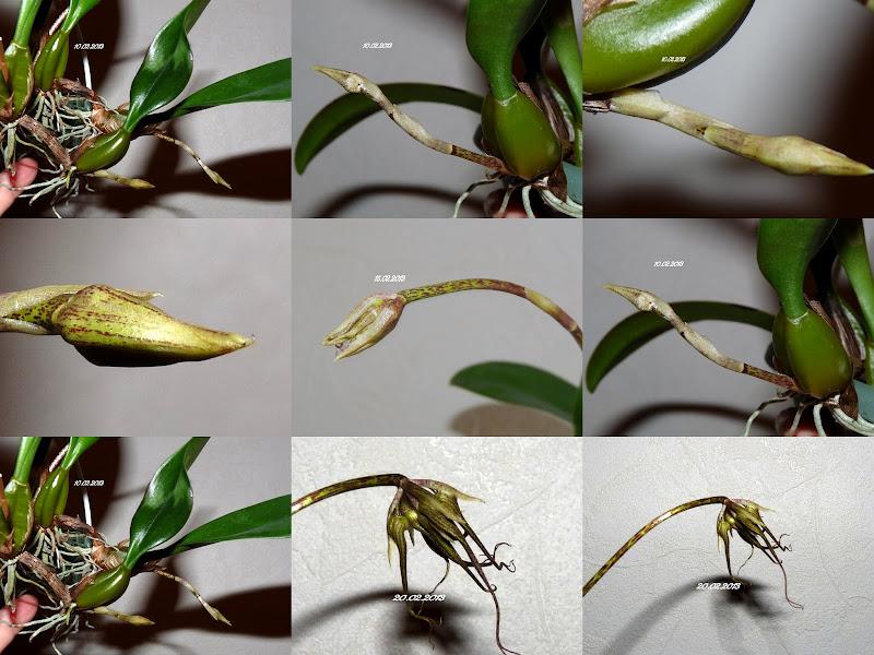 Bulbophyllum  Elizabeth Ann ' Buckleberry ' 2013-02-22