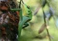 Green tree lizard at Camp 5 | photo © Adam Spillane