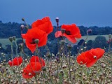 Poppies, Cowdrove Hill