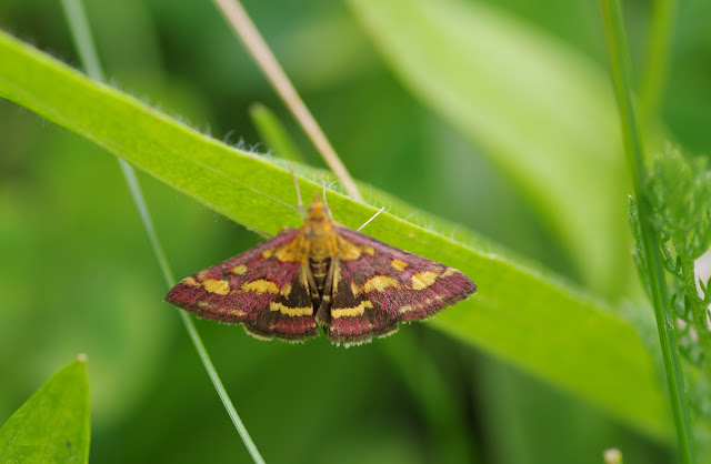 Crambidae : Pyraustinae : Pyrausta purpuralis (L., 1758). Les Hautes-Lisières (Rouvres, 28), 24 août 2012. Photo : J.-M. Gayman