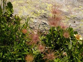 chenette, Dryas octopetala Rosacees.JPG