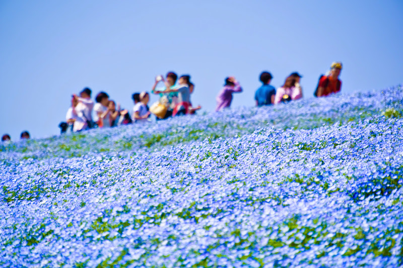 Hitachi Seaside Park Nemophila (baby blue eyes flowers) photo3