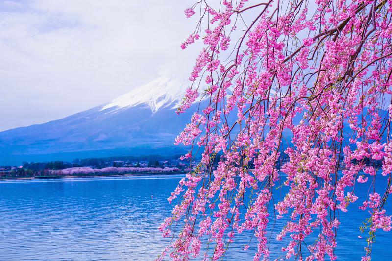 河口湖 長崎公園 桜 写真5