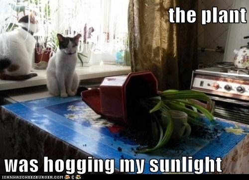 photo of two cats looking at a plant that got knocked over...it s hogging the sunlight