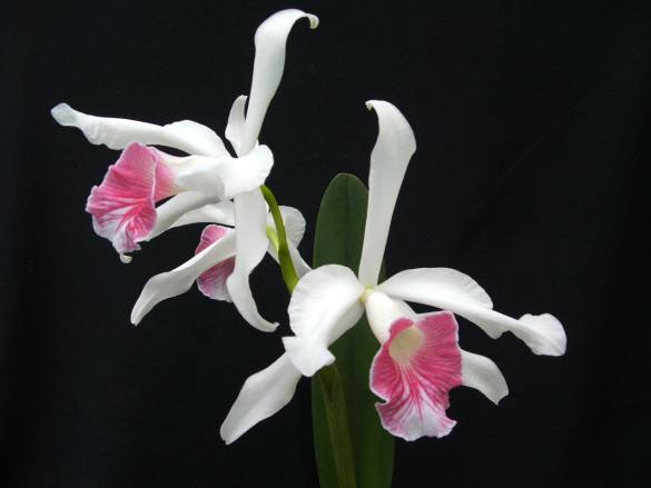 Растения из Тюмени. Краткий обзор - Страница 11 Laelia-purpurata-var-carnea