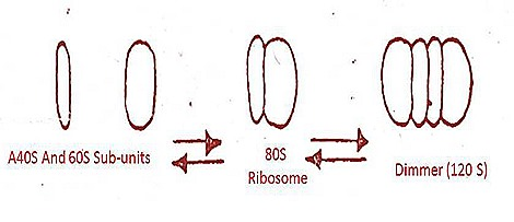 ribiosomes-structure-function (2)