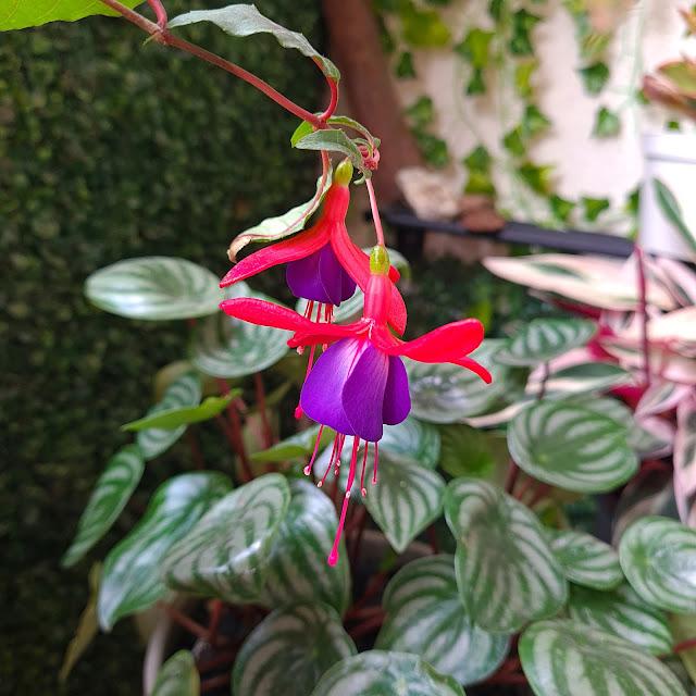 Brinco de Princesa - Fuchsia hybrida