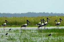 Group of adult Jabiru on the Carmor Plains