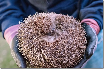 Hedgehog. Photo: flyingcanadianphotography.com