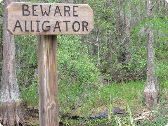 26 Van Fleet - Beware Alligator