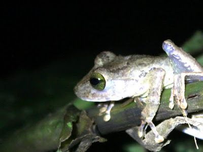 Green frog in Ulu Temburong National Park in Brunei on Borneo