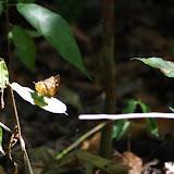 Hypna clytemnestra clytemnestra (CRAMER, 1777). Sentiers des Gros Arbres, Saül, 18 novembre 2012. Photo : J.-M. Gayman