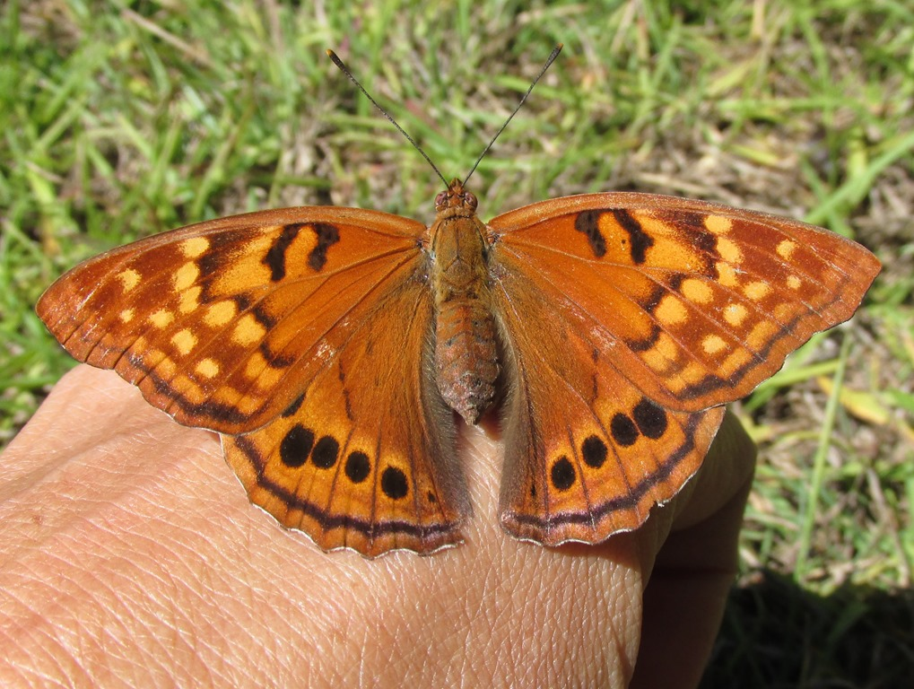 [3-Tawny-Emperor-Butterfly-58]