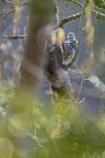 RAMIER   Pigeon sauvage dans le Haut-Jura