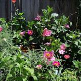 Gardening 2012 - 115_2531.JPG