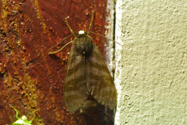 Pachydota albiceps (Walker, 1856). El Valle de las MInas (Chiriquí, Panamá), 27 octobre 2014. Photo : J.-M. Gayman