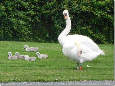 11 dsm swan family