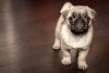 강아지가 신음 소리를내는 이유는? 원인 조치법