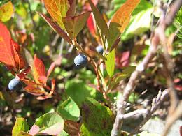 Late season blueberries.. mmm...