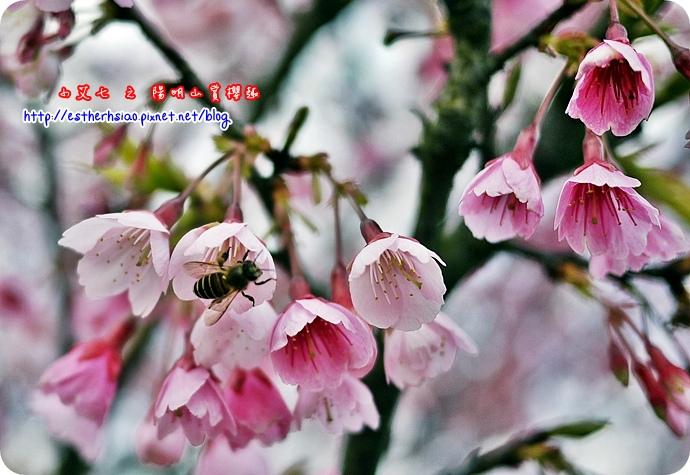 75 平菁街42巷櫻花樹