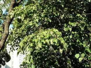 Lipa drobnolistna podczas kwitnienia Tilia cordata during inflorescece