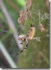 Orb weaver eating yellow jacket-2