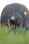 PICOTI PICOTA   Grand tétras (coq mou) amateur d??illets dans un jardin du Haut-Jura