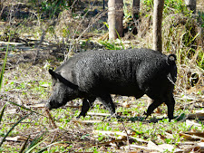 wildlife-wild-boar-1.jpg