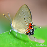 Calycopis orcillula (STRAND, 1916) [= Calystrima keta (FIELD, 1967)] ou bien Calycopis blora (FIELD, 1967). Saül, novembre 2012. Photo : Michel Belloin