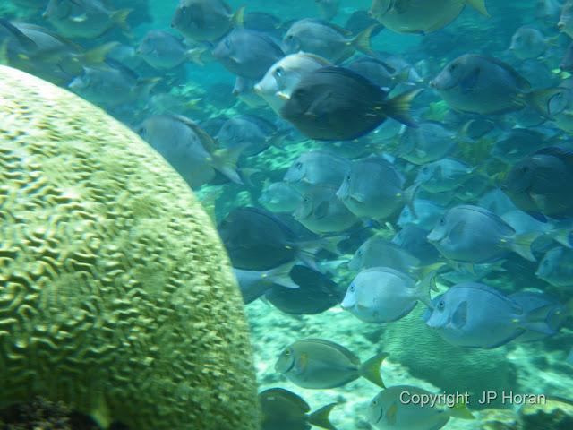 Blue Tang @ Buck Island Reef