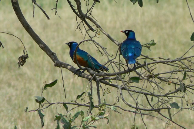 Serengeti National Park - 'Superb Starlings'