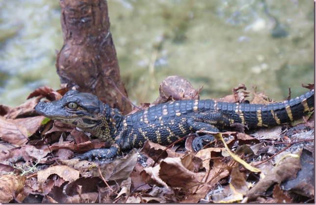 alligatorbabyIMG_0495