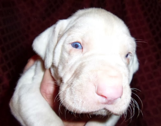 Husted's light harl male @ 3 weeks