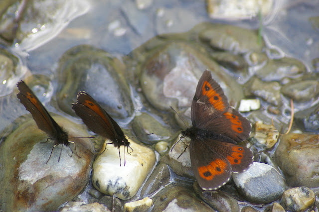 Rassemblement d'Erebia euryale (Esper, 1805.) Super Sauze (1700 m), 13 juillet 2010. Photo : J.-M. Gayman