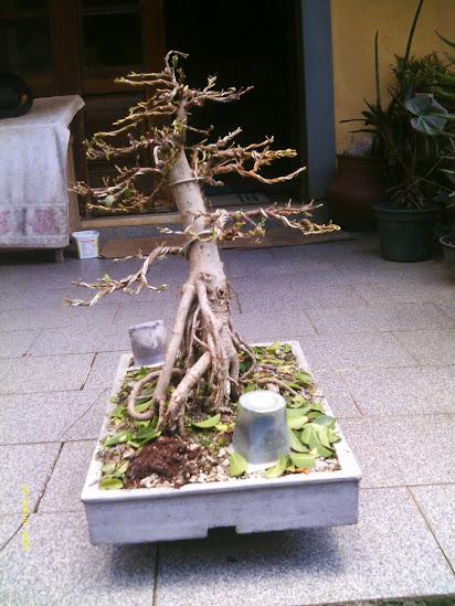 Ficus Microcarpa var. Indica... - Página 2 IMAG0297